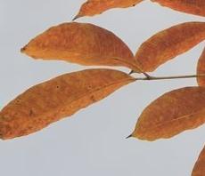 橡胶树叶红
